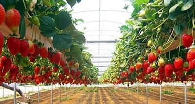 jasabuspariwisata-jalan-jalan-asyik-petik-strawberry-di-bandung-kebun